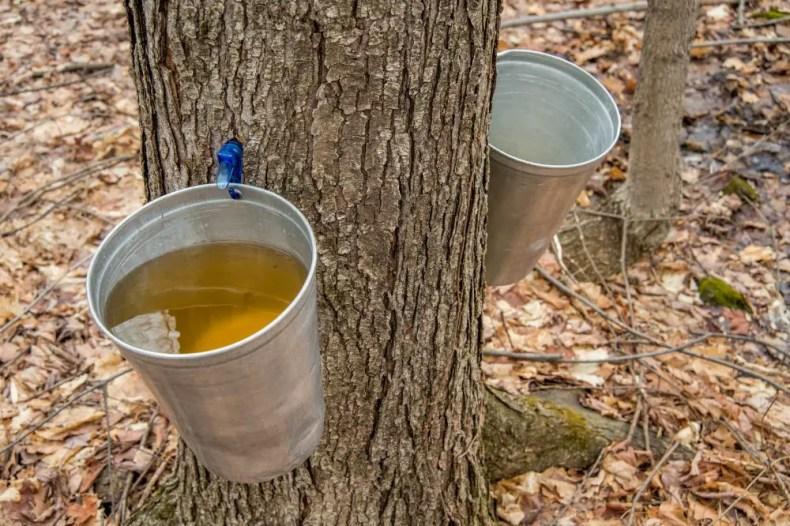 Maple Syrup Sab