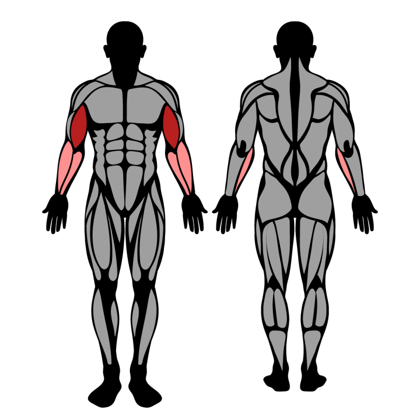 Muscles worked by Incline Dumbbell Curl