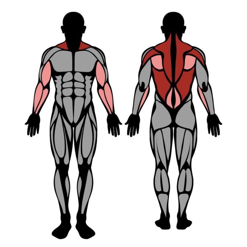 Muscles worked by pendlay row exercise