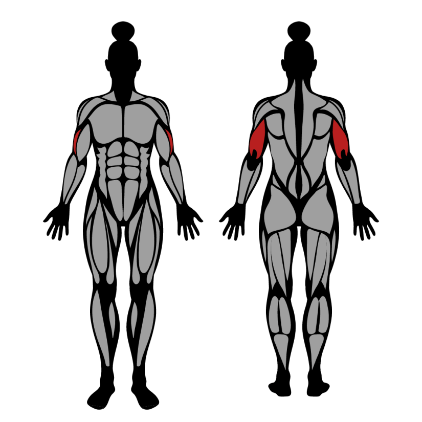 Muscles worked by triceps pushdown