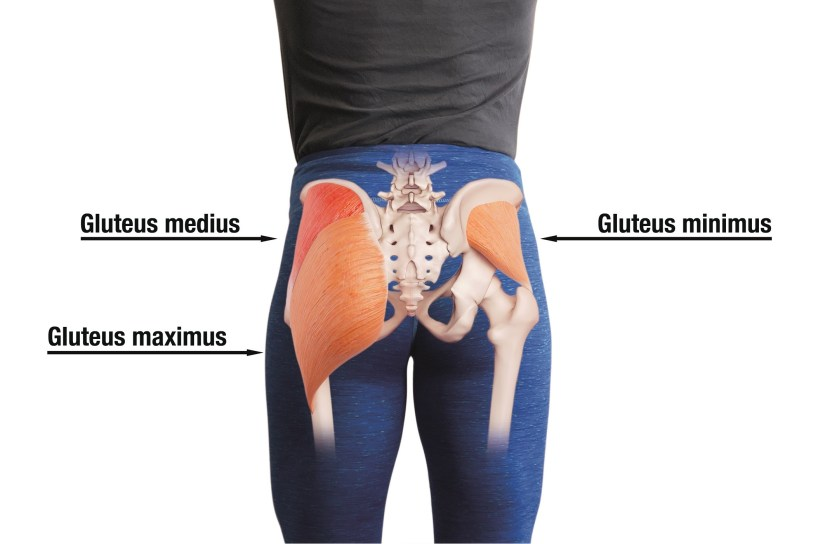Glute muscle anatomy