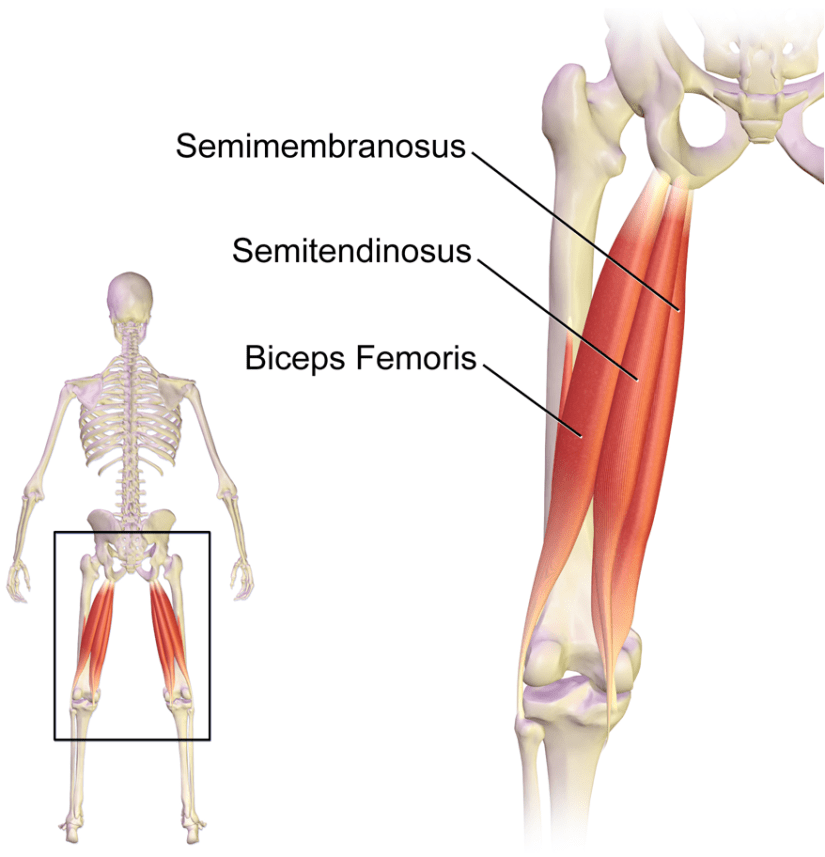 Hamstring muscle anatomy