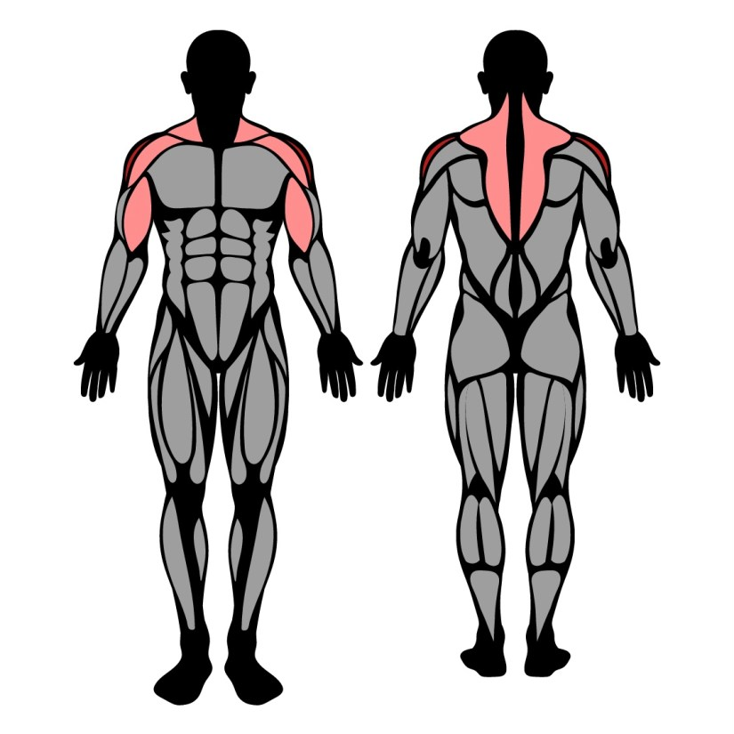 Muscles worked by barbell upright row