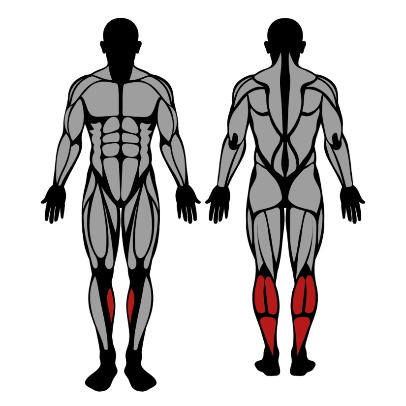 Muscles worked by heel raise