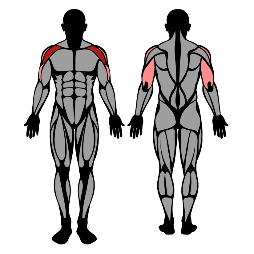 Muscles worked by seated dumbbell shoulder press