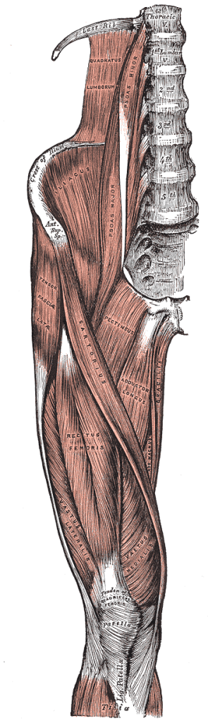 Quadriceps leg muscle anatomy