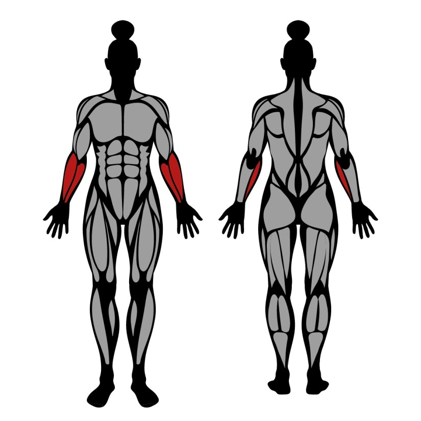 Muscles worked by the plate pinch