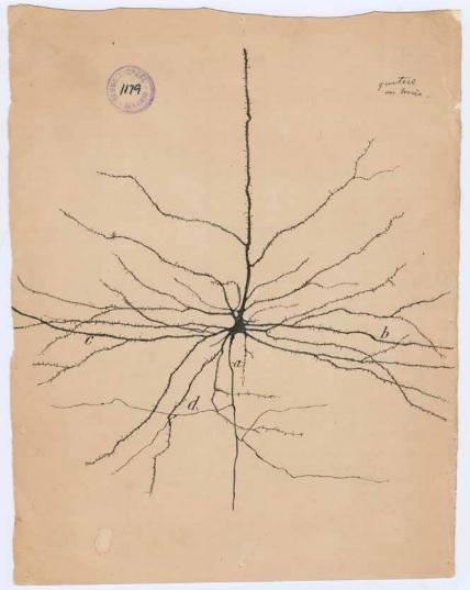 A Pyramidal neuron by Dr. Santiago Cajal