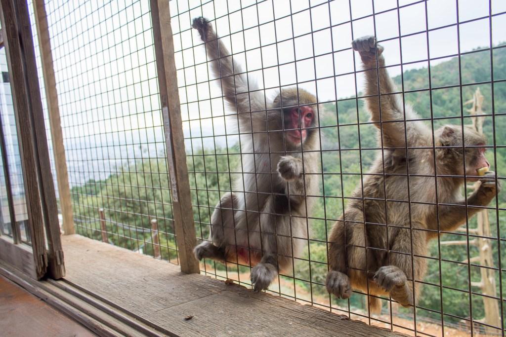 Feed monkeys in kyoto