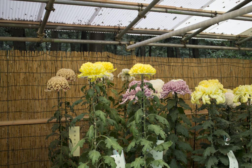 Meiji Shrine Chrysanthemums