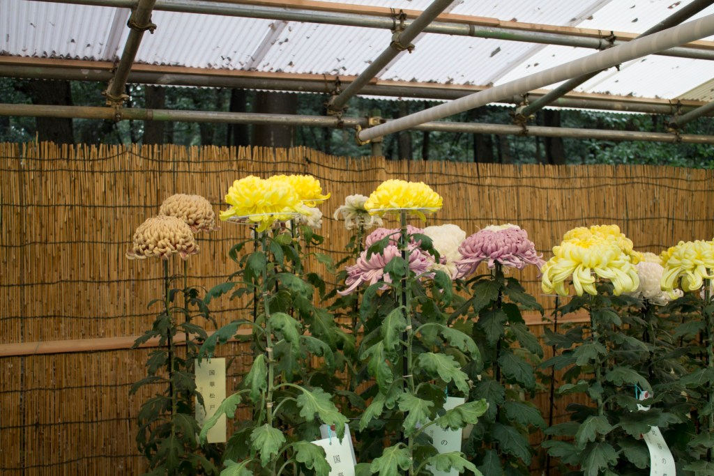Meiji Shrine Chrysanthemums