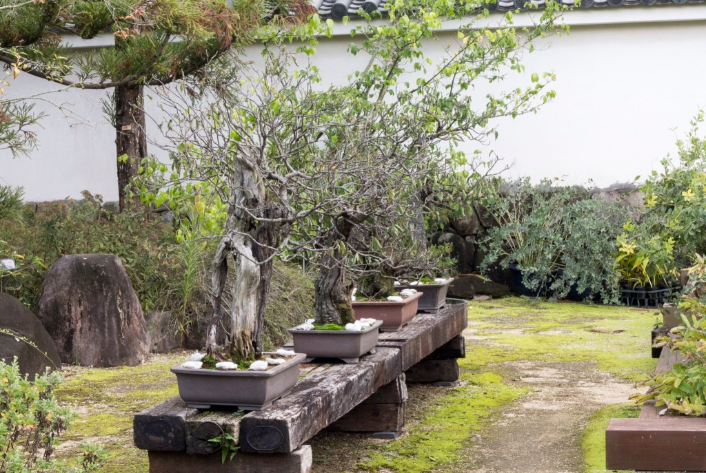 Kokoen bonsai trees