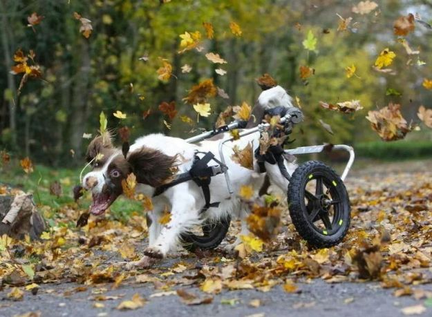dog in wheelchair chasing leaves