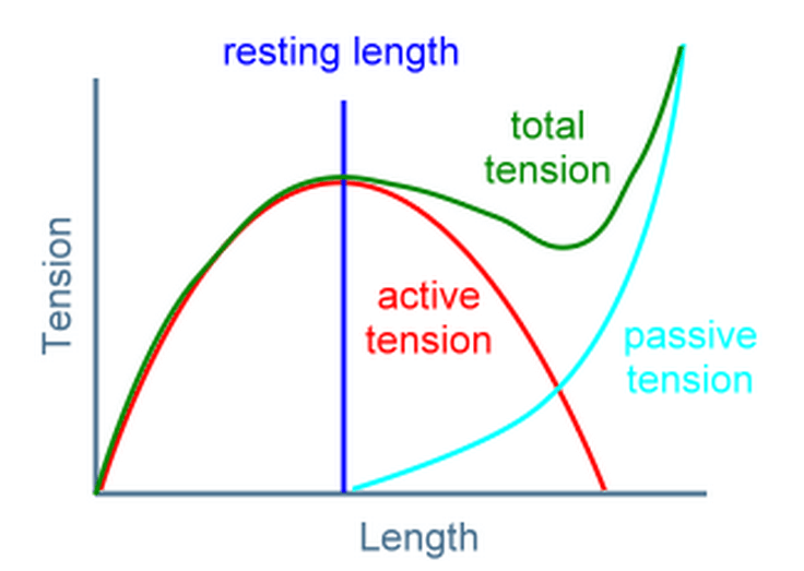 Length-tension curve of a muscle