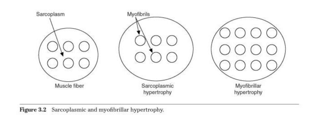 Sarcoplasmic Hypertrophy The Bros Were Probably Right