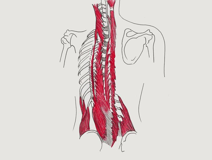 Spinal Erectors