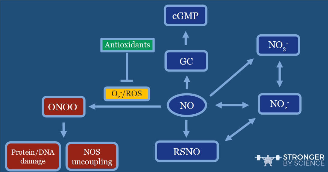 Once nitric oxide (NO) is formed, it will rapidly be guided toward one of these paths