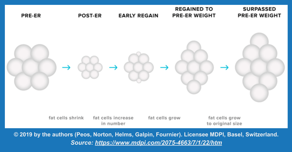 adipocyte hyperplasia during weight regain following energy restriction