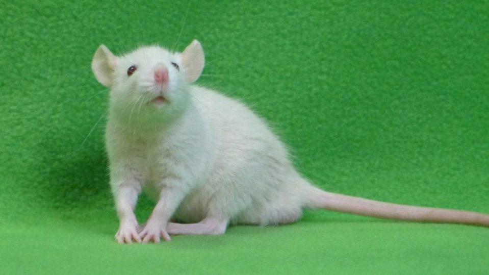 szczur, biały, platyna, adopcja