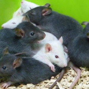 szczur, biały, platyna, czarny, black, adoptopcje, miot adopcyjny