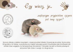 Ciekawostki, hodowla szczurów najlepszym przyjacielem szczura jest innym szczur