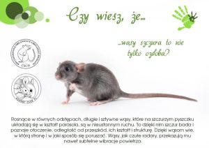 Ciekawostki, hodowla szczurów wąsy szczura to nie ozdoba