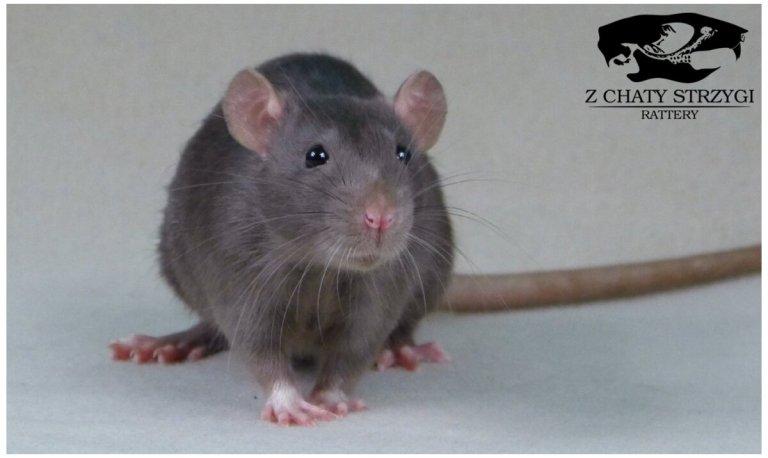 szczur, rat, Z Chaty Strzygi, mink, irish, brązowy, rodowodowy, rasowy, standard