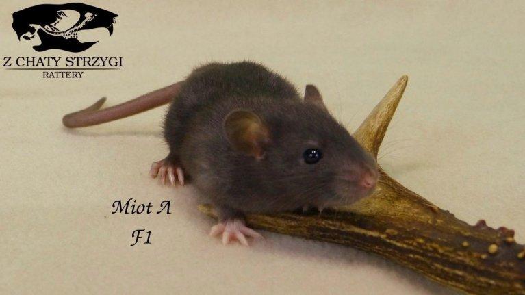 szczur, rat, Z Chaty Strzygi, rodowodowy, rasowy, czarny black szczur