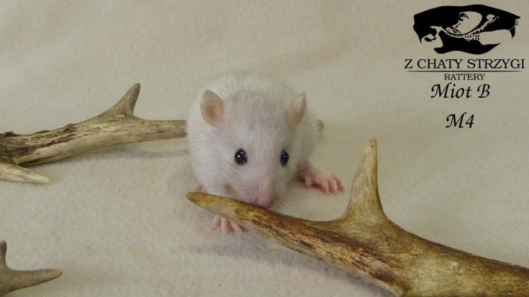 szczur, rat, Z Chaty Strzygi, dark pearl, perłowy, szary, self, brązowy, rodowodowy, rasowy