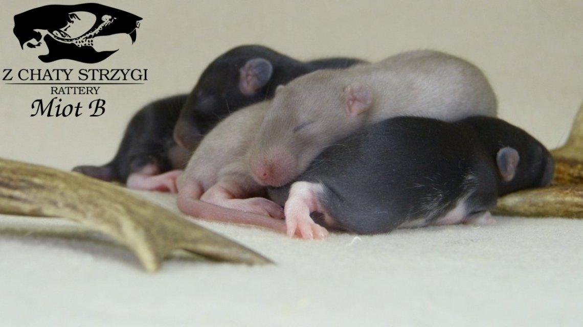 szczury, oseski, młode szczury, miot z hodowli, black rats, pearl, dark pearl, small, baby