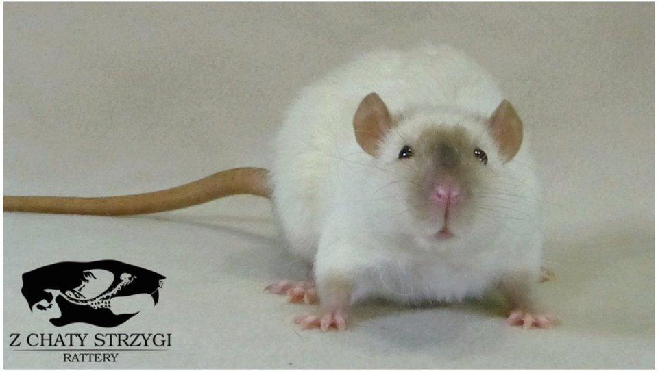 szczur, rat, Z Chaty Strzygi, rodowodowy, rasowy, point, siamese, syjam, seal, rex