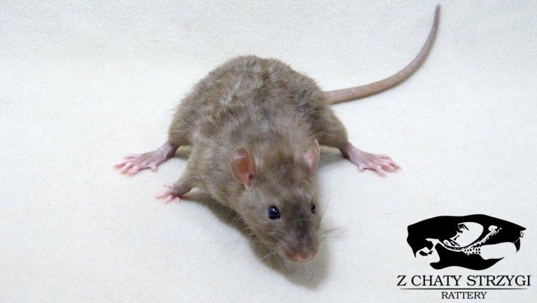 szczur rat Z Chaty Strzygi point siamese syjam rodowodowy rasowy seal burmese birmański sable