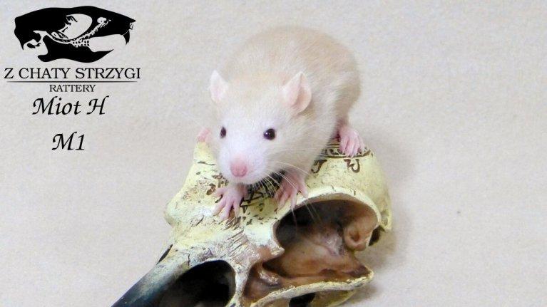 szczur, rat, Z Chaty Strzygi, rodowodowy, rasowy, fawn, russian fawn, rudy
