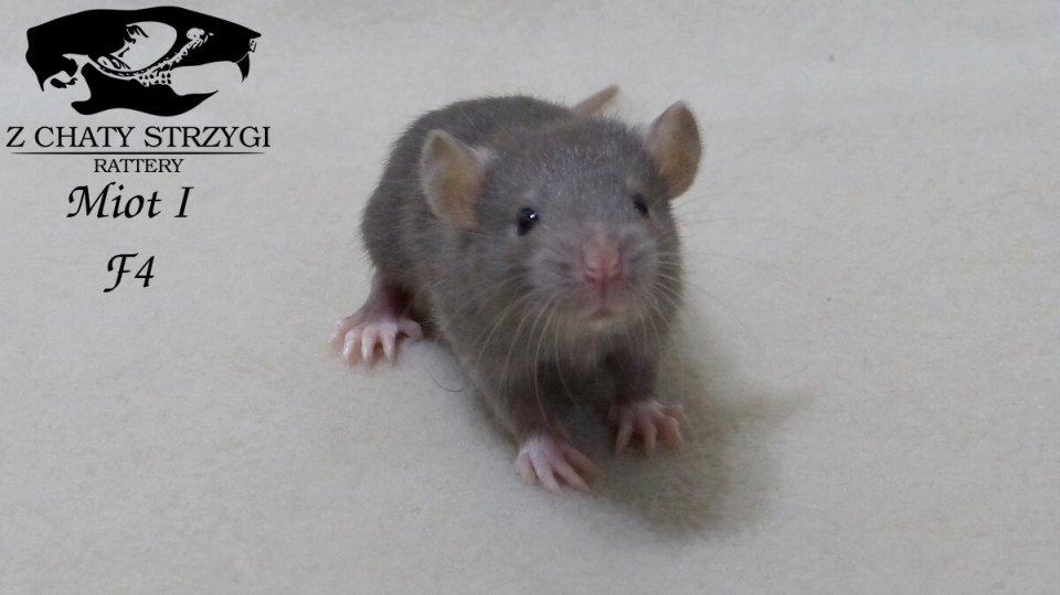 szczur, rat, Z Chaty Strzygi, rodowodowy, rasowy, mink, irish, berkshire brązowy