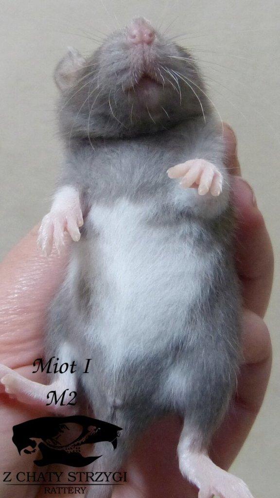 szczur szczury rat hodowla domowa Z Chaty Strzygi rodowodowy rasowy berkshire mink brązowy