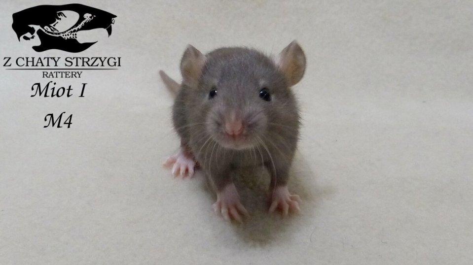 szczur szczury rat hodowla domowa Z Chaty Strzygi rodowodowy rasowy mink brązowy