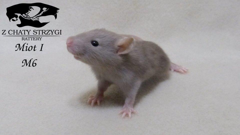szczur szczury rat hodowla domowa Z Chaty Strzygi rodowodowy rasowy havana brązowy
