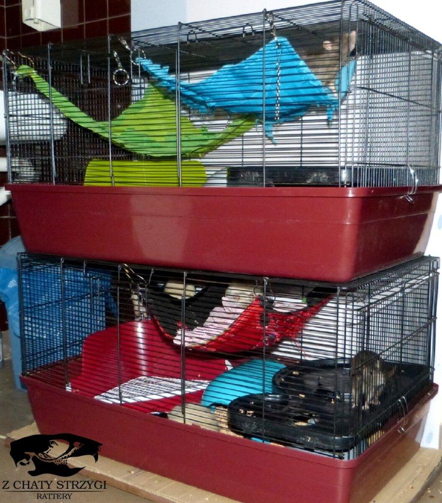 szczur szczury rat hodowla domowa Z Chaty Strzygi rodowodowy rasowy klatka klatki dla szczurów