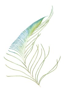 Peacock Feather by Anna Rosenthal