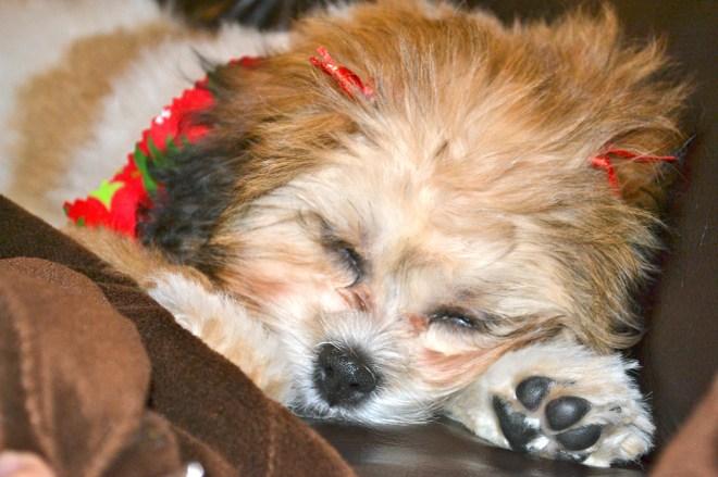 Izzy - shichon puppy