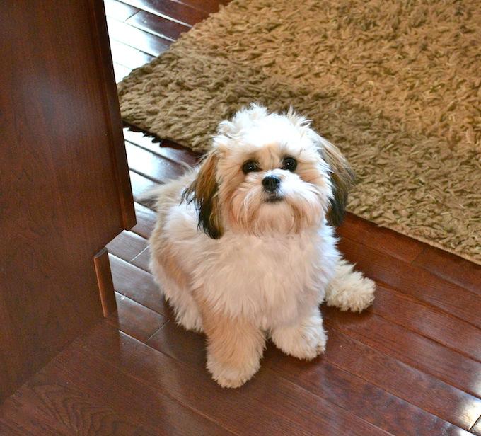 Shichon Puppy