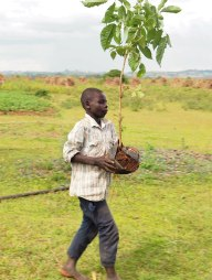Carrying trees.