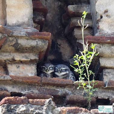 Owls in Temple in Auroville Bioregion