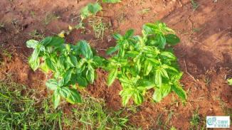 basil growing in red soil