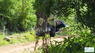 Cow placenta hanging in tree