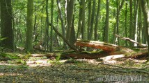 Logged trees in Hambacher Forst