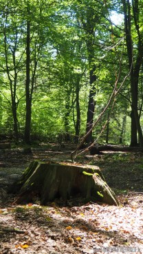 Young tree in old stump