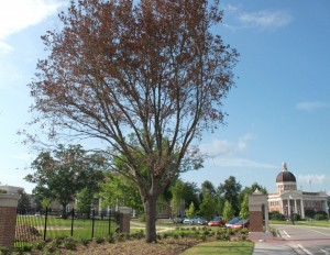 One of five live oaks planted during the summer has failed. The tree will be replaced during the fall planting period.
