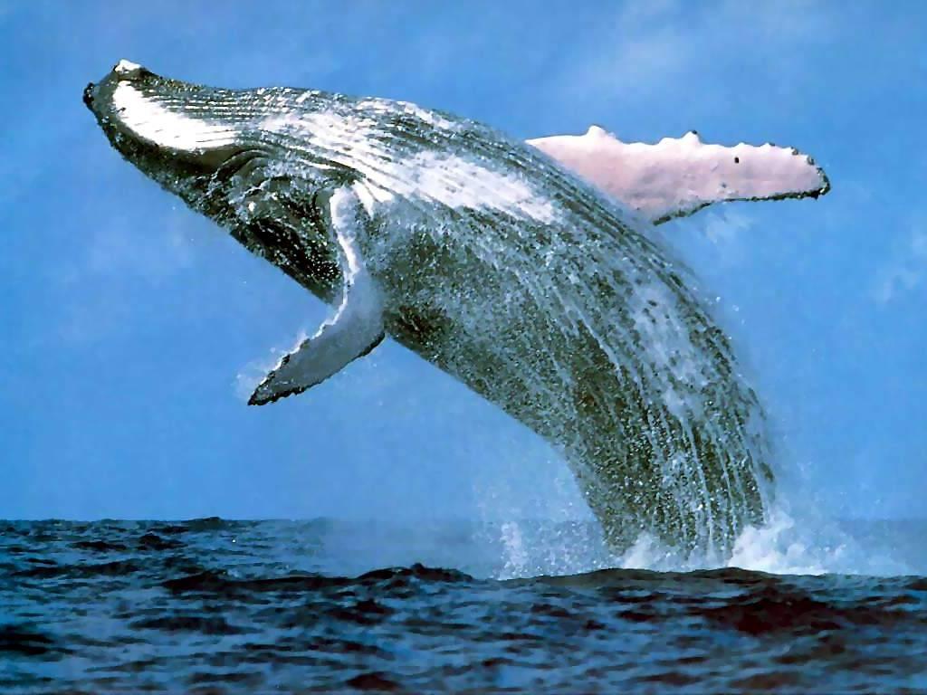 La Ballena La ballena .. Animales -