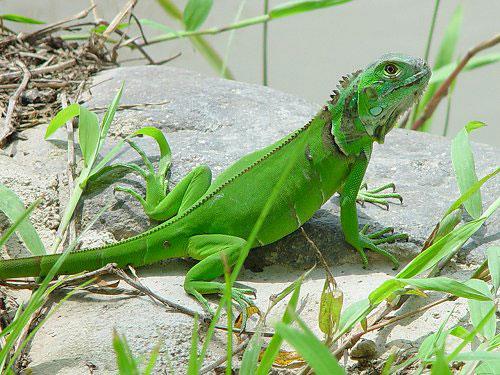 La Iguana La Iguana co.. Animales -